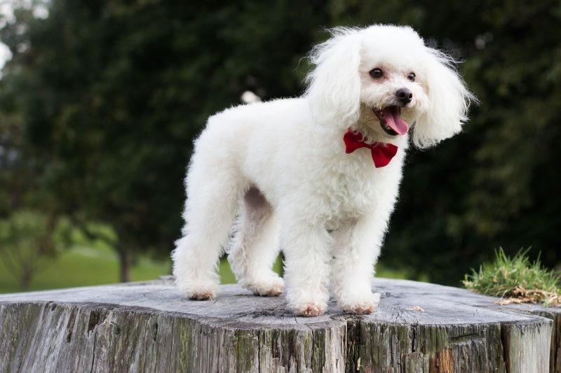 phân loại poodle