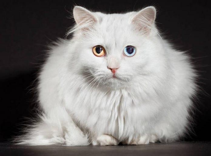 top 10 loại mèo dễ thương nhất thế giới