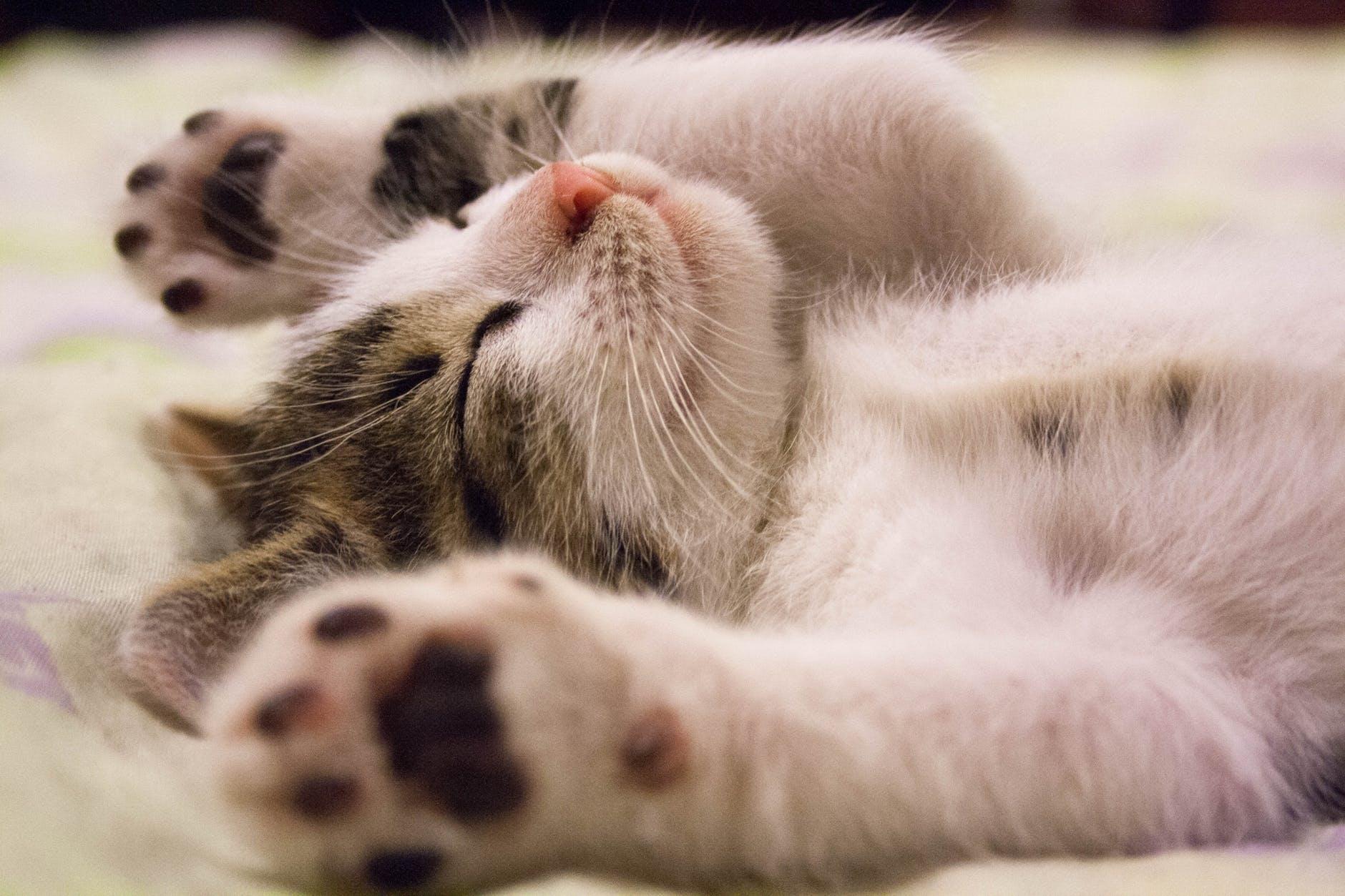 Mèo con ngủ