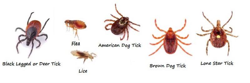 các loại bọ chét, ve, rận
