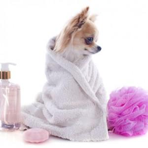tắm vệ sinh chó nhỏ 2kg