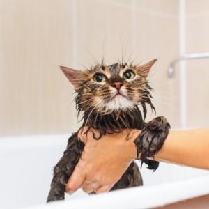 Tắm vệ sinh cắt tỉa lông Mèo 2-4kg