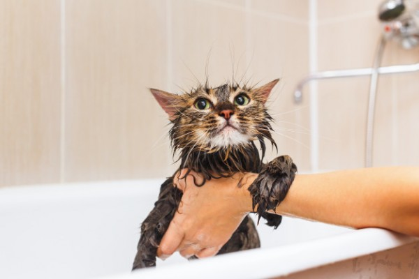 Tắm vệ sinh mèo