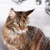 Tắm vệ sinh cắt tỉa lông Mèo 6-10kg