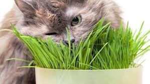 lợi ích của cỏ mèo