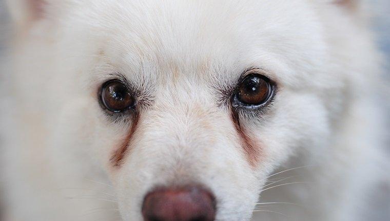 Chảy nước mắt ở chó là khá phổ biến